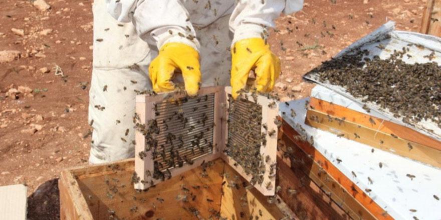 Gramı 500 TL olan arı zehri üretilmeye başlandı