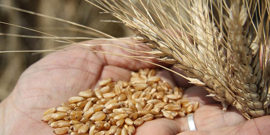 Arpa tohumu ve ekmeklik buğday tohumu satış ihalesi