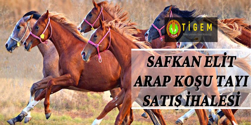 Safkan Elit Arap Koşu Tayı satış ihalesi