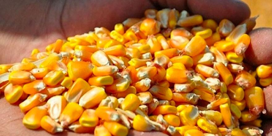 TİGEM'den dane mısır satışı