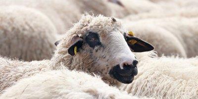 O ilimizde koyun-keçi vebası alarmı