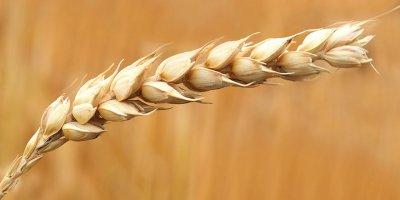 Cahit İncefikir: Buğday ekim alanları azalıyor