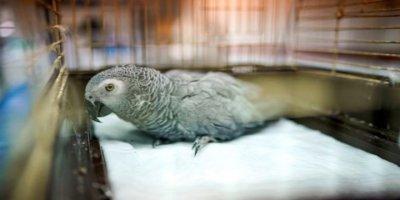 MasterChef Murat'ın eziyet ettiği papağandan kötü haber