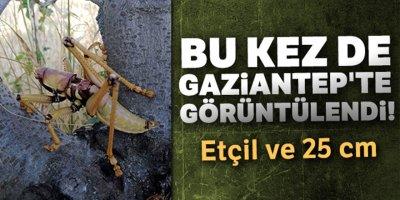 Dev çekirge bu kez Gaziantep'te görüntülendi