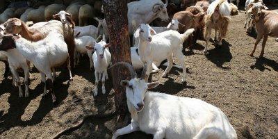 Bu keçilerin sütü bir başka
