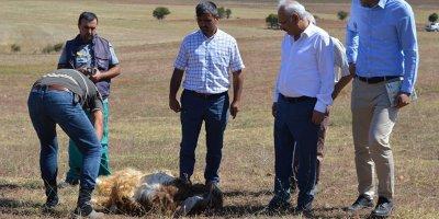 Kırıkkale'de kurtlar 15 koyunu telef etti