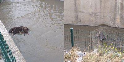 Ankara'da 3 köpek zehirlenip su kanalına atıldı