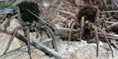 Dünyanın en tehlikeli 9 türünden biri!