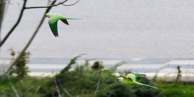 Meydanlar yeşil papağanlara emanet