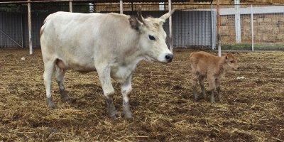 Klon sığır ailesi büyüyor