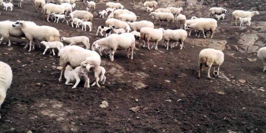 Koyun ile kuzunun buluşma anı