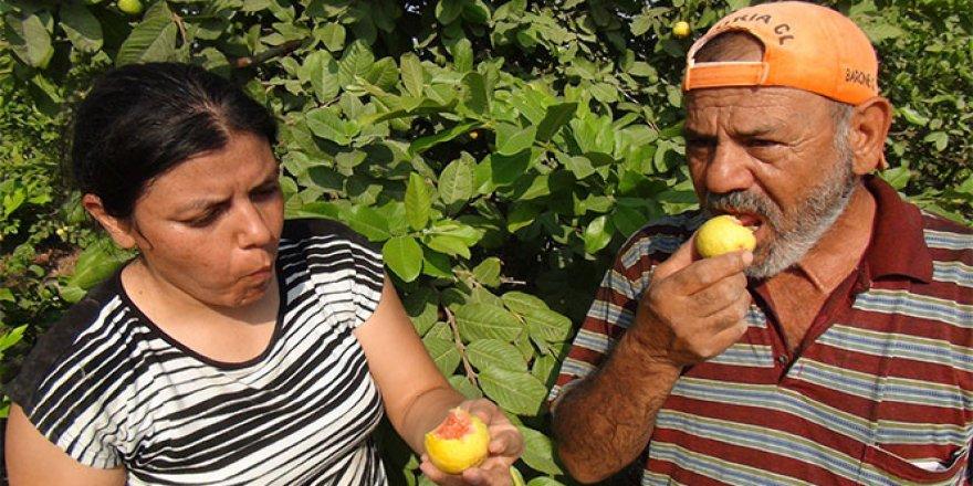 İşte Türkiye'nin ilk guava üreticisi