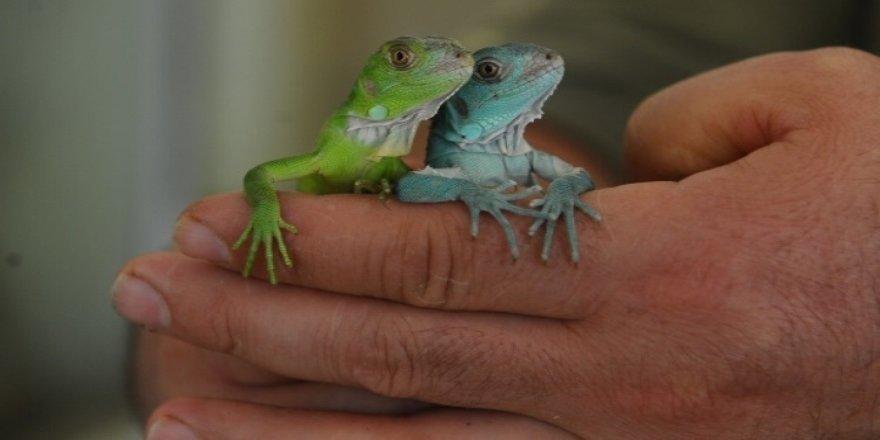 İguana 47 yavru birden dünyaya getirdi
