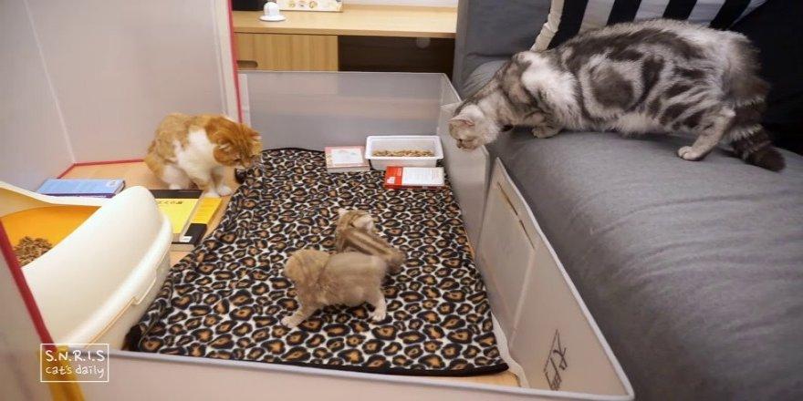 Kedi bebeklerinin babalarını ilk gördüğü tepki.