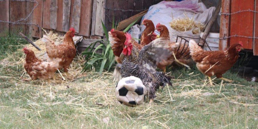 Karabük'te futbol tutkunu horoz