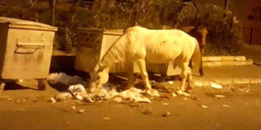 Büyükada'da atların çöpte yemek ararken çekilen görüntüleri içleri sızlattı