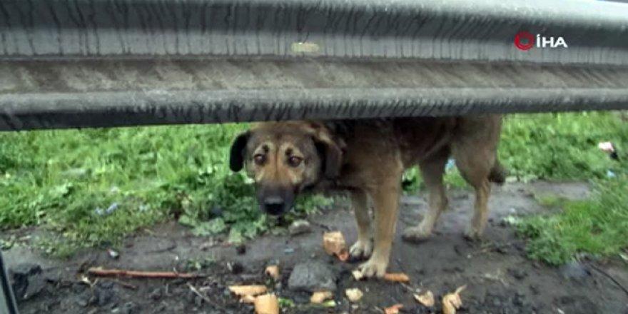 Başıboş köpekler yürek sızlattı