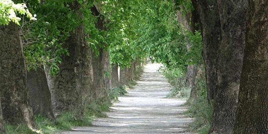 Çınar ağacı büyüsü! Türkiye'nin dört bir yanından geliyorlar