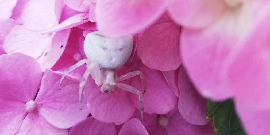 'İnsan yüzlü örümcek' görüntülendi