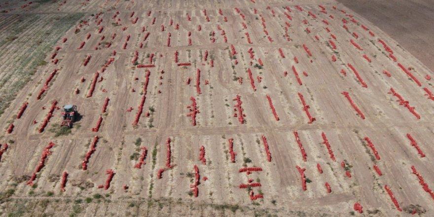 Ankara'da tarlalar kırmızıya büründü