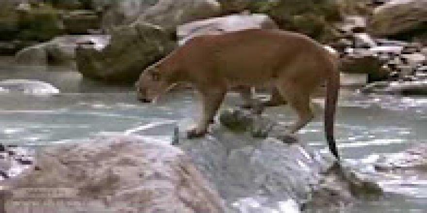 Dağ aslanı dağ keçisini avlarken
