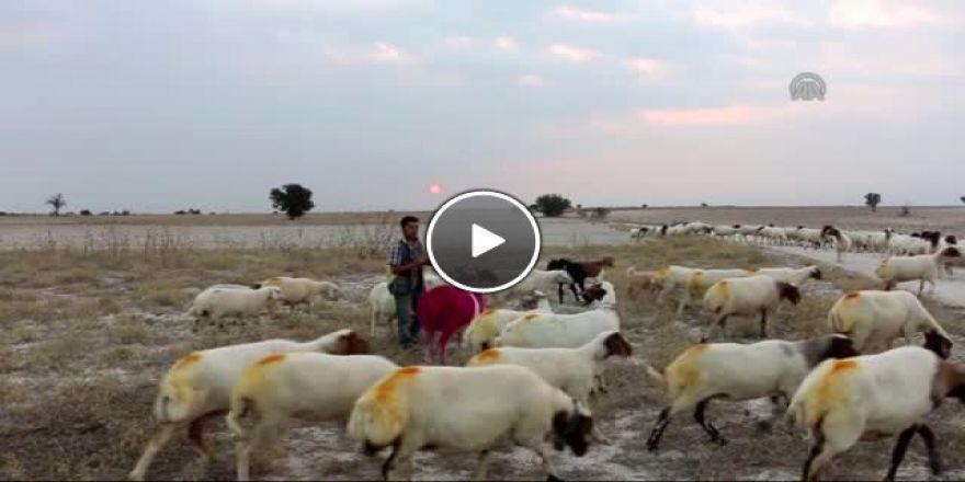 Koyunların yöresel oyuna tepkisi