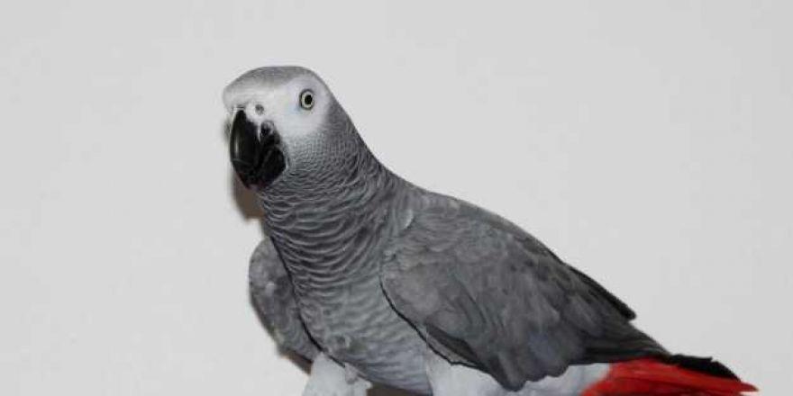 Kelime-i Tevhid söyleyen papağan 'Allah bir' diyor