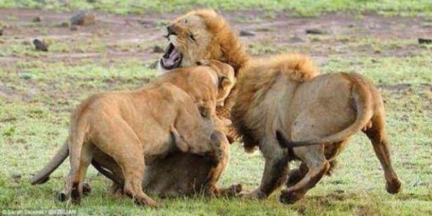 Aslanlar kendi aralarında kavga edince bakın neler oluyor