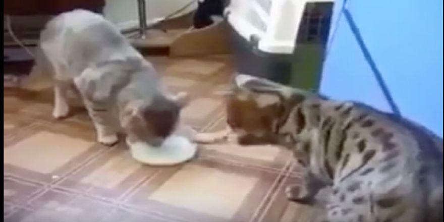 Kedilerden insanlara örnek olacak davranış