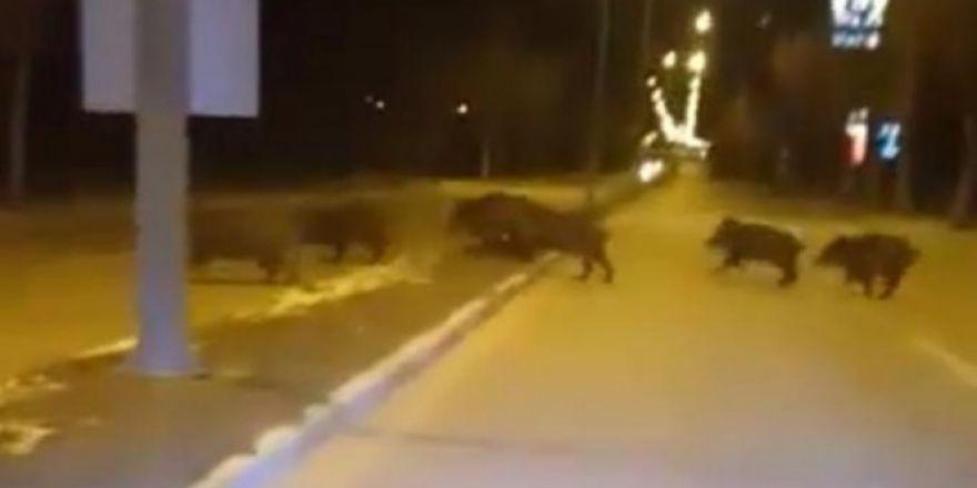 Aç kalan yaban domuzları şehre indi!
